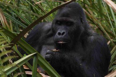 Gorillas and chimpanzees