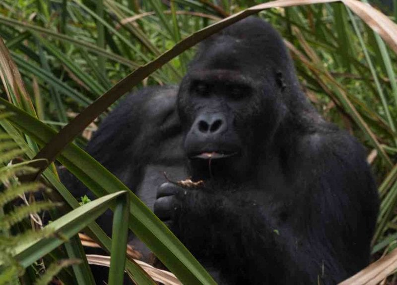 Gorillas and chimpanzees